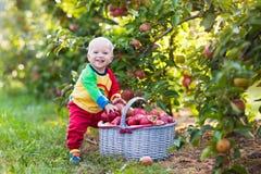 Maçãs da colheita do bebê no jardim do fruto fotos de stock royalty free