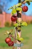Maçãs de amadurecimento na árvore, maçãs vermelhas nos ramos Fotos de Stock