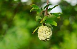 Maçãs de creme ou maçãs do açúcar ou squamosa Linn do Annona Imagens de Stock