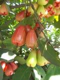Maçãs de Java ou maçãs cor-de-rosa 2 Imagens de Stock Royalty Free