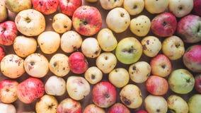 Maçãs de qualidade inferior estragadas Fundo fora das maçãs selvagens Imagens de Stock Royalty Free