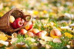 Maçãs do outono na grama Imagens de Stock