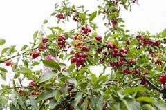 Maçãs do paraíso em um ramo de árvore fotos de stock