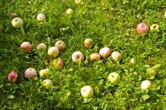 Maçãs do verão na grama Imagem de Stock Royalty Free