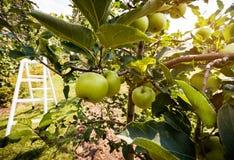 Maçãs do verde de Rippe no pomar Fotografia de Stock