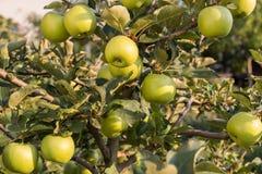 Maçãs do verde de Rippe no pomar Imagens de Stock