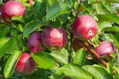 Maçãs e árvores de Apple fotos de stock royalty free