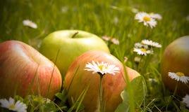 Maçãs e flores da margarida imagens de stock