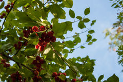 Maçãs em um ramo pronto para ser colhido, fora Foto de Stock Royalty Free