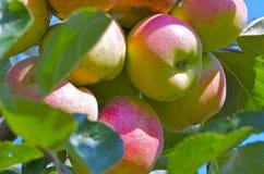 Maçãs em uma árvore Imagem de Stock