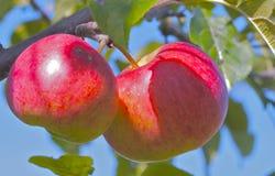 Maçãs em uma árvore Fotografia de Stock
