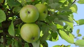 Maçãs em uma árvore de Apple video estoque