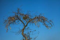 Maçãs em uma árvore velha Imagens de Stock Royalty Free
