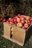 Maçãs escolhidas frescas em um pomar em Nova Inglaterra Fotos de Stock