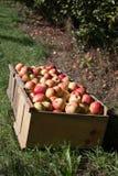Maçãs escolhidas frescas em um pomar em Nova Inglaterra Fotografia de Stock