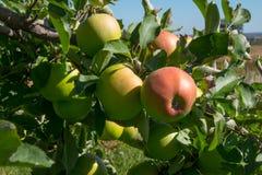 Maçãs frescas em uma árvore de maçã Imagens de Stock