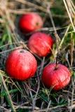 Maçãs frescas em uma grama Fotos de Stock