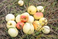 Maçãs frescas em uma grama Foto de Stock
