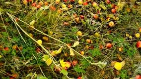 Maçãs maduras, caídas da árvore de Apple, da mentira na grama e no trajeto no jardim Autumn Landscape vídeos de arquivo