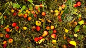 Maçãs maduras, caídas da árvore de Apple, da mentira na grama e no trajeto no jardim Autumn Landscape video estoque
