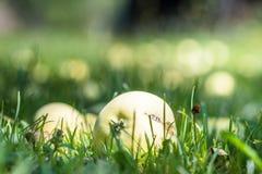 Maçãs maduras do verão em um jardim em uma grama Fotografia de Stock