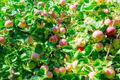 Maçãs maduras em filiais de árvore Folhas vermelhas do fruto e do verde pomar Fotografia de Stock