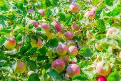 Maçãs maduras em filiais de árvore Folhas vermelhas do fruto e do verde pomar Imagens de Stock Royalty Free