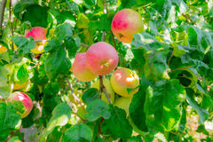 Maçãs maduras em filiais de árvore Folhas vermelhas do fruto e do verde pomar Imagem de Stock Royalty Free