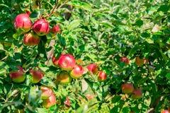 Maçãs maduras em filiais de árvore Folhas vermelhas do fruto e do verde pomar Foto de Stock Royalty Free