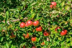 Maçãs maduras em filiais de árvore Folhas vermelhas do fruto e do verde pomar Fotografia de Stock Royalty Free
