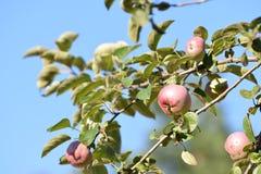 Maçãs maduras em uma árvore contra o céu Fotografia de Stock Royalty Free