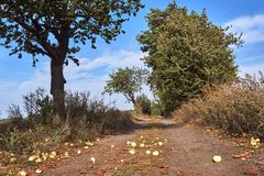 Maçãs maduras em uma estrada de terra no verão foto de stock royalty free
