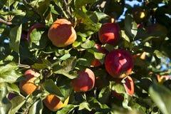 Maçãs maduras em uma filial de árvore Imagem de Stock