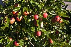 Maçãs maduras em uma filial de árvore Foto de Stock Royalty Free