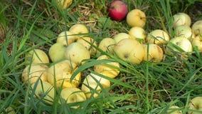 Maçãs maduras frescas na grama verde no jardim Colhendo o conceito vídeos de arquivo