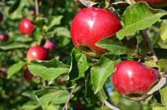 Maçãs maduras frescas no ramo de árvore da maçã no jardim Fotografia de Stock