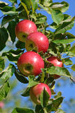Maçãs maduras frescas no ramo de árvore da maçã no jardim Foto de Stock Royalty Free