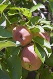 Maçãs maduras na árvore Imagem de Stock Royalty Free