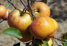 Maçãs maduras na árvore Fotos de Stock Royalty Free