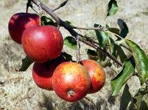 Maçãs maduras na árvore Fotos de Stock
