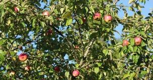Maçãs maduras nos ramos de uma árvore de maçã no dia filme
