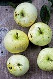 5 maçãs maduras verdes Fotografia de Stock Royalty Free