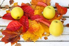 Maçãs maduras, verdes no jardim, tempo do outono Fotografia de Stock