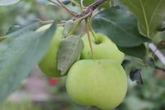 Maçãs maduras verdes no ramo 20500 Fotografia de Stock