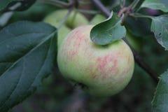 Maçãs maduras verdes no ramo 20496 Fotos de Stock Royalty Free
