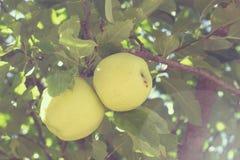 Maçãs na árvore de maçã Imagem de Stock Royalty Free