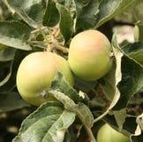 Maçãs na árvore de maçã fotografia de stock