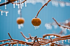 Maçãs na chuva de congelação Imagem de Stock