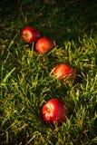 Maçãs na grama Fotos de Stock