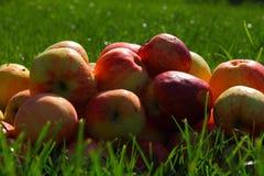 Maçãs na grama Fotografia de Stock